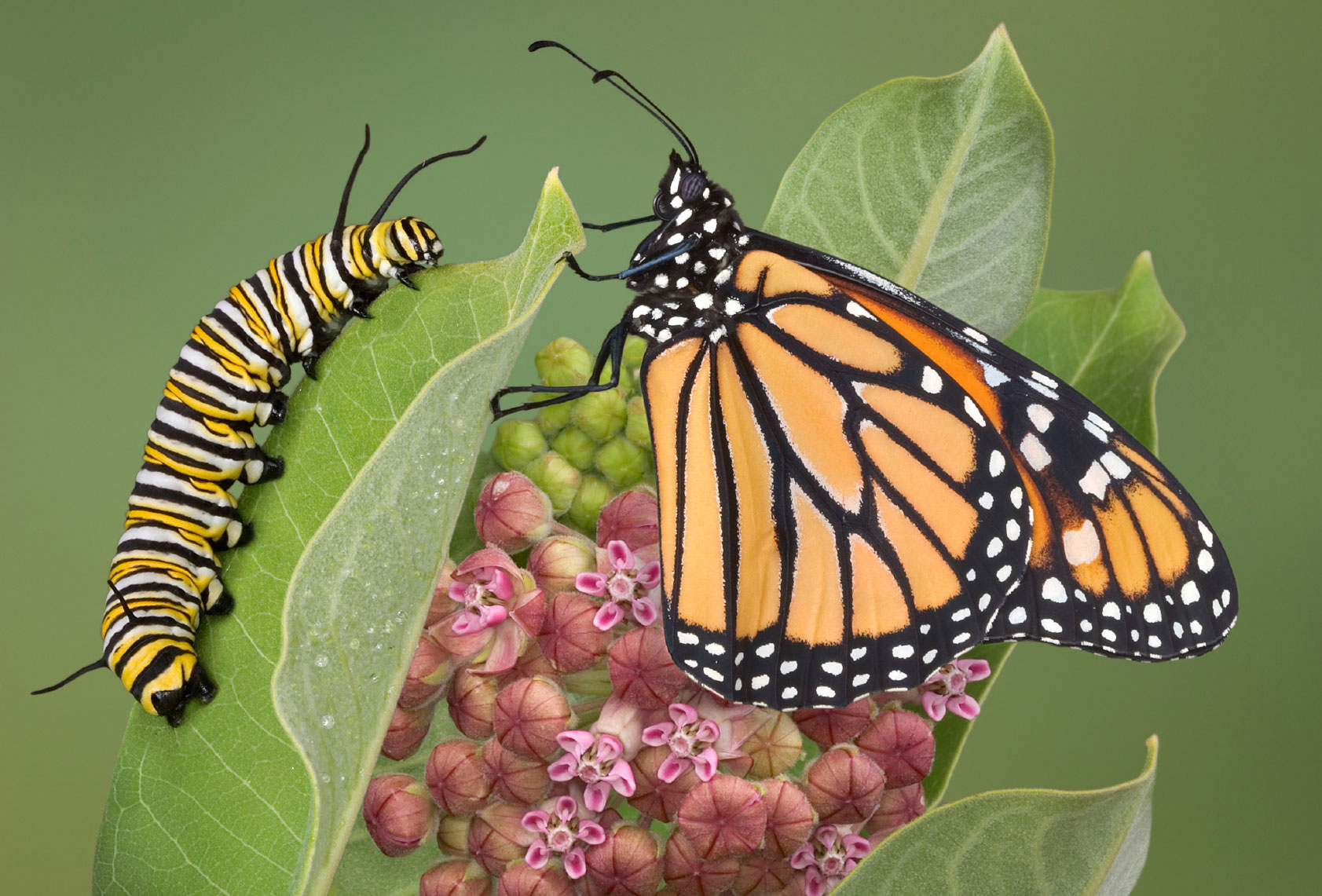 Can Growth Mindset Turn a Caterpillar into a Human Butterfly?